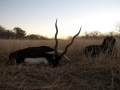 largeBlackbuck040711024847