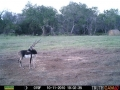 largeBlackbuck101210012036